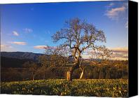 Selection Canvas Prints - Leafless Oak Tree In Mountain Meadow Canvas Print by Natural Selection Craig Tuttle