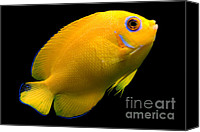 Angel Fish Canvas Prints - Lemonpeel Angelfish Canvas Print by Danté Fenolio