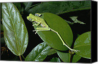 Color Stretching Canvas Prints - Lemur Frog Phyllomedusa Lemur Top View Canvas Print by Konrad Wothe