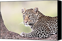 Leopards Canvas Prints - Leopard in Tree Canvas Print by Richard Garvey-Williams