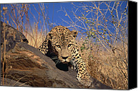 Approaching Canvas Prints - Leopard Panthera Pardus Climbing Canvas Print by Konrad Wothe