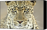 Fn Canvas Prints - Leopard Panthera Pardus Female Canvas Print by Martin Van Lokven