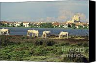 Grey Horses Canvas Prints - Les Saintes Marie de la Mer. Camargue. Provence. Canvas Print by Bernard Jaubert