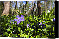 Vinca Flowers Canvas Prints - Lesser Periwinkle Vinca Minor Flowers Canvas Print by Konrad Wothe