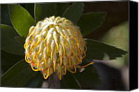 Sharon Mau Canvas Prints - Leucospermum  -   Yellow Pincushion Protea Canvas Print by Sharon Mau