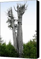Tall Trees Canvas Prints - Life at the Top - Duncan Cedar Olympic National Park WA Canvas Print by Christine Till