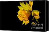 Rip Van Winkle Daffodil Canvas Prints - Light on Double Daffodil Canvas Print by Thomas R Fletcher
