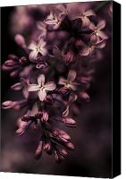 Violet Prints Photo Canvas Prints - Lilac Blossoms Canvas Print by Jayne Logan Intveld