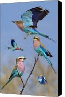 Collage Canvas Prints - Lilac-breasted Roller Collage Canvas Print by Basie Van Zyl