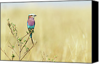 Valley Canvas Prints - Lilac-breasted Roller (coracias Caudata) Canvas Print by Elliott Neep