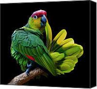 Parrot Canvas Prints - Lilacine Amazon Parrot Isolated On Black Backgro Canvas Print by Photo by Steve Wilson