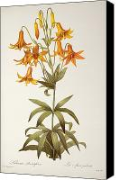 Cutting Canvas Prints - Lilium Penduliflorum Canvas Print by Pierre Joseph Redoute