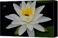 Lotus Pond Canvas Prints - Lilly White Canvas Print by Robert Harmon