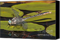 Invertebrate Canvas Prints - Lilypad Clubtail on a Lily Pad Canvas Print by Clarence Holmes