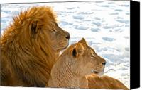 Male Canvas Prints - Lion couple in the snow Canvas Print by Gert Lavsen