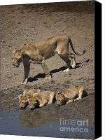 Kenya Canvas Prints - Lion Cubs and Mom Get a Drink Canvas Print by Darcy Michaelchuk