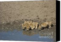 Kenya Canvas Prints - Lion Cubs having a Drink Canvas Print by Darcy Michaelchuk