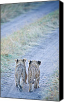 Two Animals Canvas Prints - Lion Cubs Walking Together In Masai Mara Canvas Print by Mehmed Zelkovic