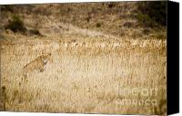 On-the-look-out Canvas Prints - Lioness looking for a meal Canvas Print by Darcy Michaelchuk