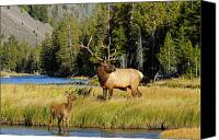 Elk Canvas Prints - Little Big Man Canvas Print by Sandy Sisti
