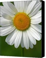 White Daisy Canvas Prints - Little Darling Canvas Print by Juergen Roth