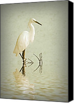 Herons Canvas Prints - Little Egret Canvas Print by Sharon Lisa Clarke