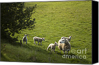 Sheep Canvas Prints - Little Lamb Canvas Print by Angel  Tarantella