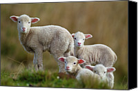 Domestic Animals Photography Canvas Prints - Little Lambs Canvas Print by Ronai Rocha