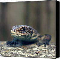 Lizard Canvas Prints - Little Lizard Climbing Over Wall, York Canvas Print by BlackCatPhotos