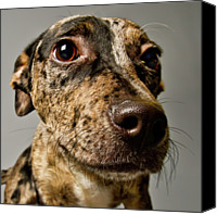 Animal Head Shot Canvas Prints - Little Pup Canvas Print by Square Dog Photography