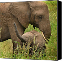 Baby Elephant Canvas Prints - Little Toot Canvas Print by Joseph G Holland