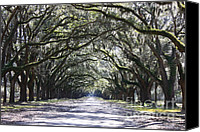 Live Oaks Canvas Prints - Live Oak Lane in Savannah Canvas Print by Carol Groenen