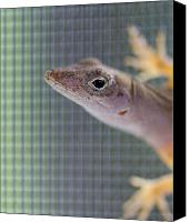 Florida Nature Photography Canvas Prints - Lizard Canvas Print by Pam Kennedy