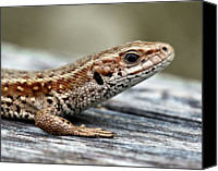 Natural Pattern Photo Canvas Prints - Lizard Canvas Print by Svein Nordrum