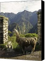 On-the-look-out Canvas Prints - Llama on the Inca Trail Canvas Print by Darcy Michaelchuk
