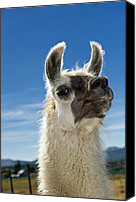 Camelid Canvas Prints - Llama Canvas Print by Tony Camacho