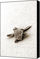 Turtle Canvas Prints - Loggerhead Canvas Print by Michael Stothard