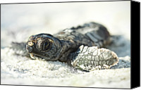 Animal Photo Canvas Prints - Loggerhead Sea Turtle Hatchling Canvas Print by Kristian Bell