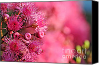 Tree Blossoms Canvas Prints - Lollypop Gum Tree Blossoms Canvas Print by Kaye Menner