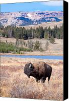 Montana Digital Art Canvas Prints - Lone Buffalo Canvas Print by Cindy Singleton