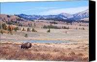 Montana Digital Art Canvas Prints - Lone Bull Buffalo Canvas Print by Cindy Singleton