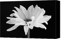 Studio Canvas Prints - Lone Daisy Canvas Print by Harry H Hicklin
