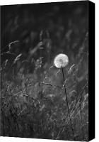 Solitude Canvas Prints - Lone Dandelion black and white Canvas Print by Jill Reger