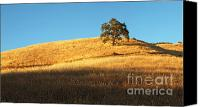 Northern California Canvas Prints - Lone Oak Tree Canvas Print by Matt Tilghman