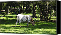 Grazing Canvas Prints - Long Horn Grazing Canvas Print by Kelly Rader