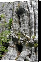 Old Trees Canvas Prints - Long Views - Giant Western Red Cedar Olympic National Park WA Canvas Print by Christine Till