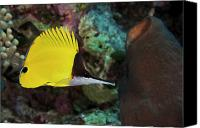 Urchin Canvas Prints - Longnose Butterflyfish Canvas Print by Steve Rosenberg - Printscapes