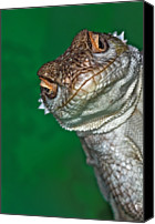 Lizard Canvas Prints - Look Reptile, Lizard Interested By Camera Canvas Print by Pere Soler