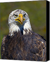Bald Eagle Canvas Prints - Looking Forward - Bald Eagle Canvas Print by Tony Beck