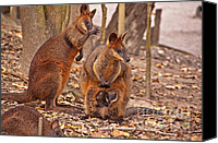Kangaroo Canvas Prints - Looking Out from the Safety of the Pouch Canvas Print by Bob and Nancy Kendrick